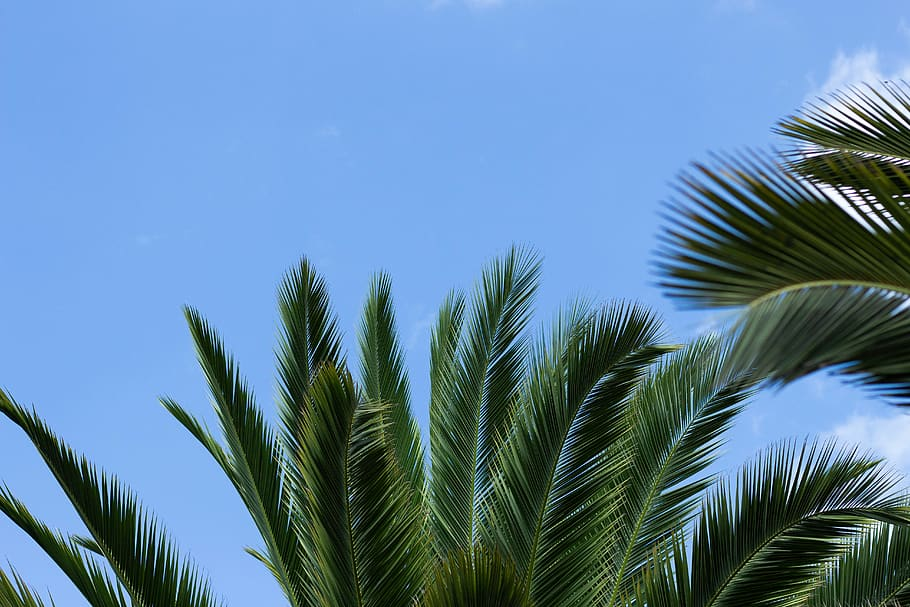 Pohon Sagu Palm