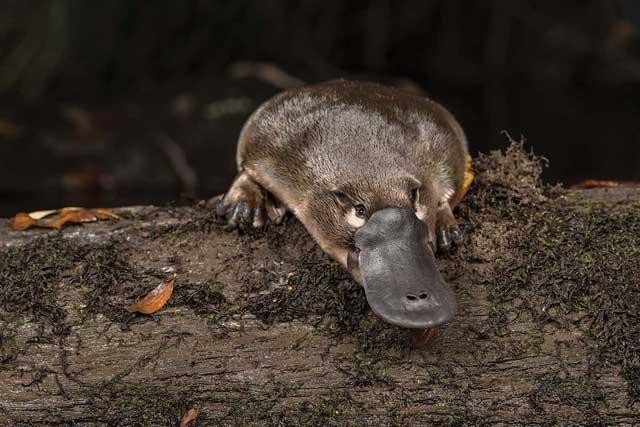 Platypus, Terlalu Aneh Untuk Seekor Hewan