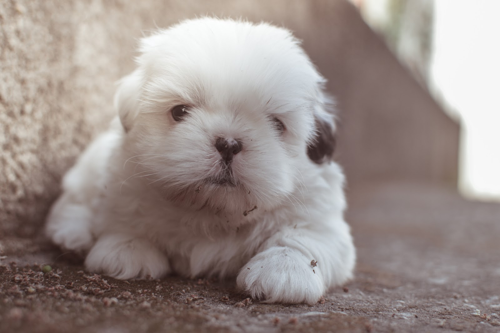 close-up-photography-of-white-long-coated-puppy-dog-pictures