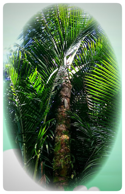The tree is erect and tall and can reach 20 meters. Pretty high isn't it? The height of the sago stems that begin to flower is between 10-15 meters.