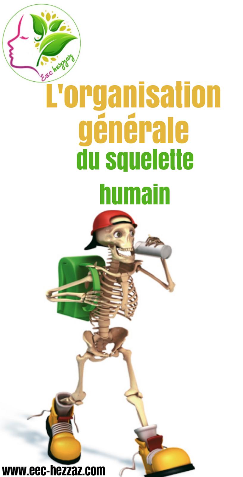 L'organisation générale du squelette humain