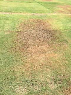 Turfgrass with a large patch of brown (dead) grass