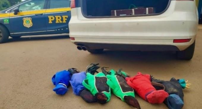 PRF aborda veículo com prefeito de cidade paranaense transportando galinhos de rinha