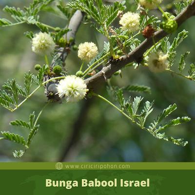 Ciri Ciri Bunga Babool Israel