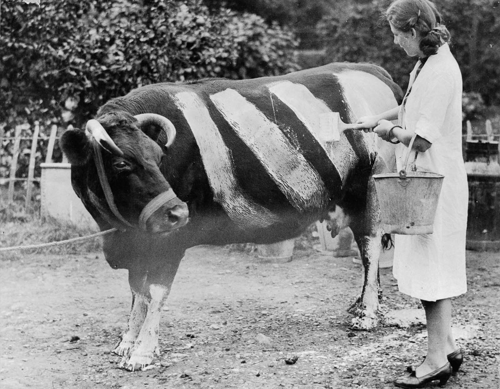 A farmer paints stripes on her cow to increase its visibility at night and prevent car accidents should it wander onto the road during blackout conditions.