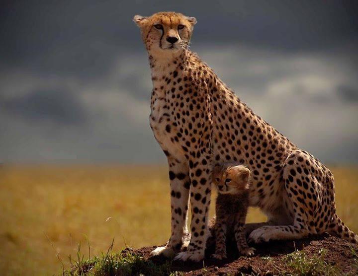 Cute cheetah pictures