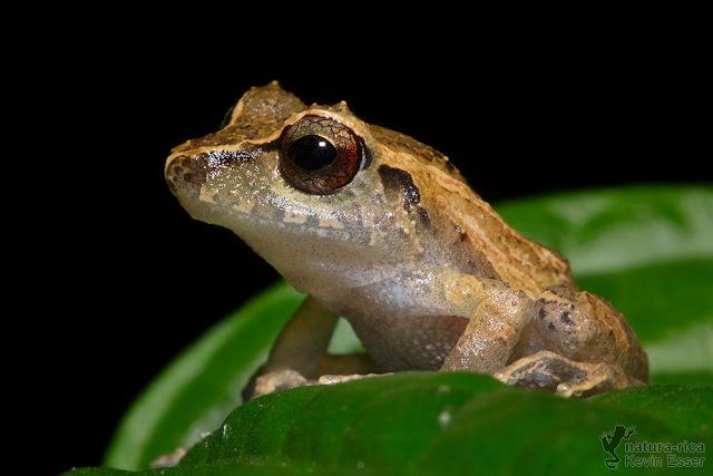 Pygmy Rain Frog - Pristimantis ridens