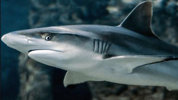 klasifikasi ikan hiu