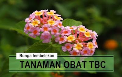 Khasiat Bunga Tembelekan Untuk Mengobati Penyakit TBC