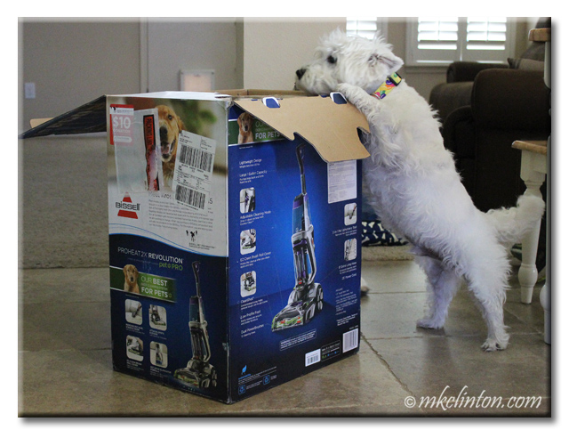 Westie looking in Bissel steam cleaner box