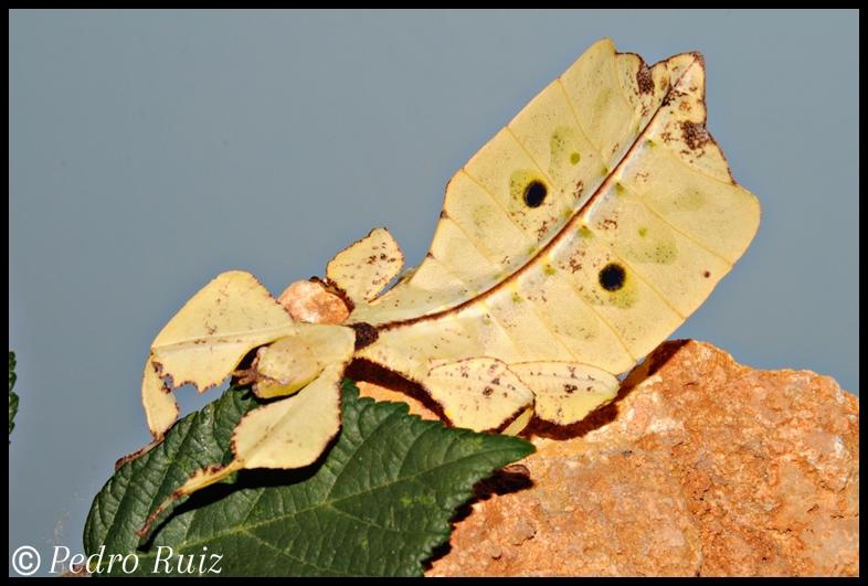Ninfa hembra L6 de Phyllium ericoriai, 7 cm de longitud