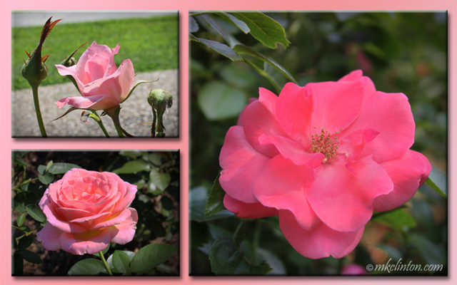 Collage of three pink roses