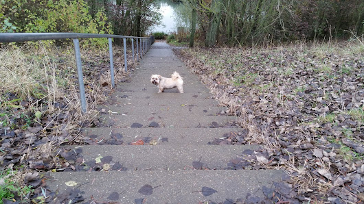 Tizer the Lhasa Apso: An Epic Walk Around Silksworth's Lesser Known Lake...