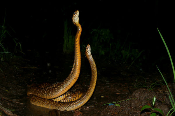 Snake Eyes Hd Wallpapers Snakes Snakes Mating