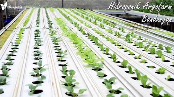 Belajar Menanam Dengan Media Air Di Hidroponik Agrofarm Bandungan