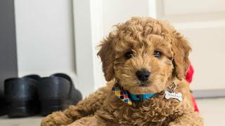 F1 Goldendoodle Temperament, Size, LifeSpan, Adoption, Price