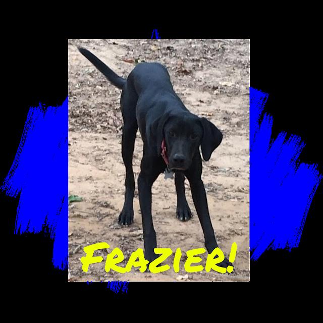 Black Labrador Retriever Dog Adoption