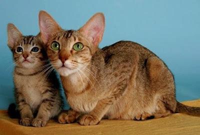 Perawatan Ras Kucing Kanaani