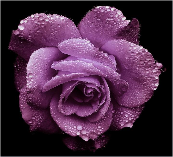 Gambar bunga mawar ungu yang cantik