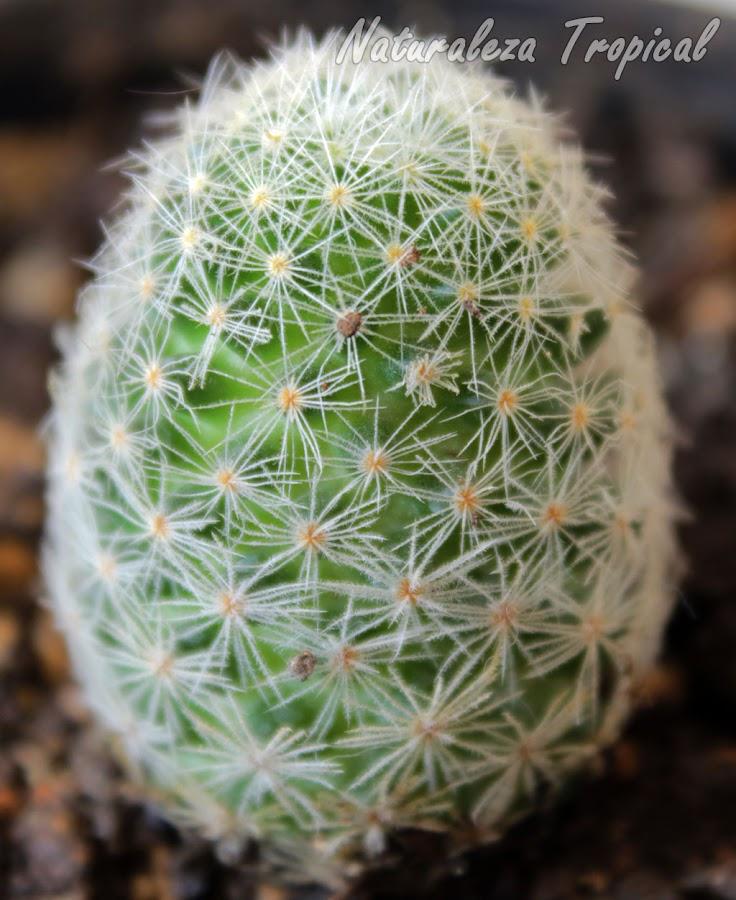 Fotografía del cactus Mammillaria roemeri