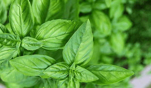 Myriad Benefits of Basil Leaves You Must Know