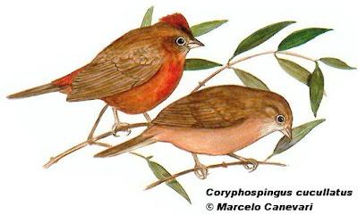 nido de Brasita de fuego Coryphospingus cucullatus