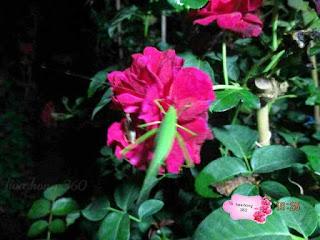 sâu bệnh trên cây hoa hồng , sâu đục thân hoa hồng