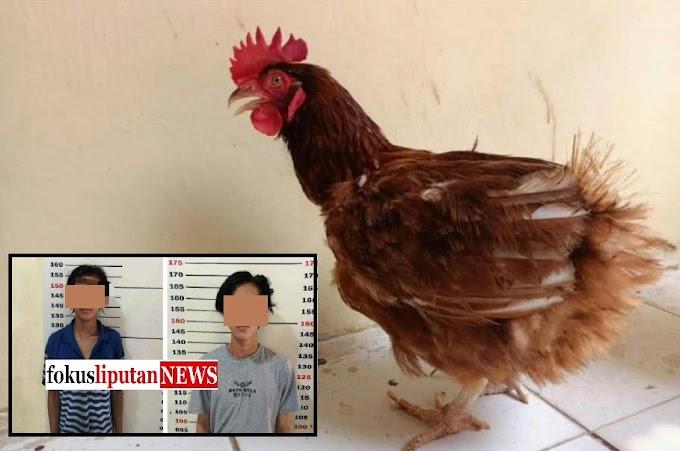 Si Ujang Rugi 12 Juta, Ayam Petelur Miliknya, Telah di Curi