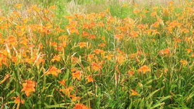 Ditch lily - Hemerocallis fulva