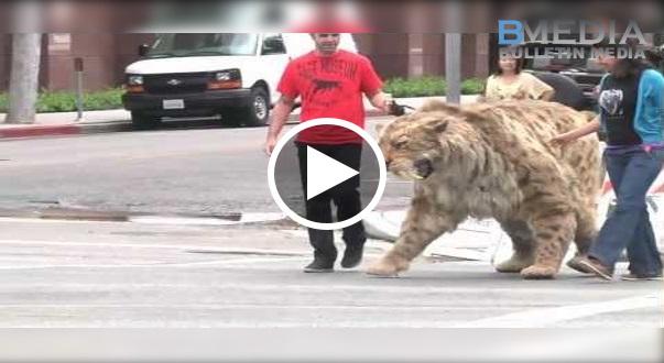 Viral!! 'Raja Kucing' Yang Paling Besar Kat Dunia!! Pasti Buat Mulut Awak Tidak Dapat Tutup!!!