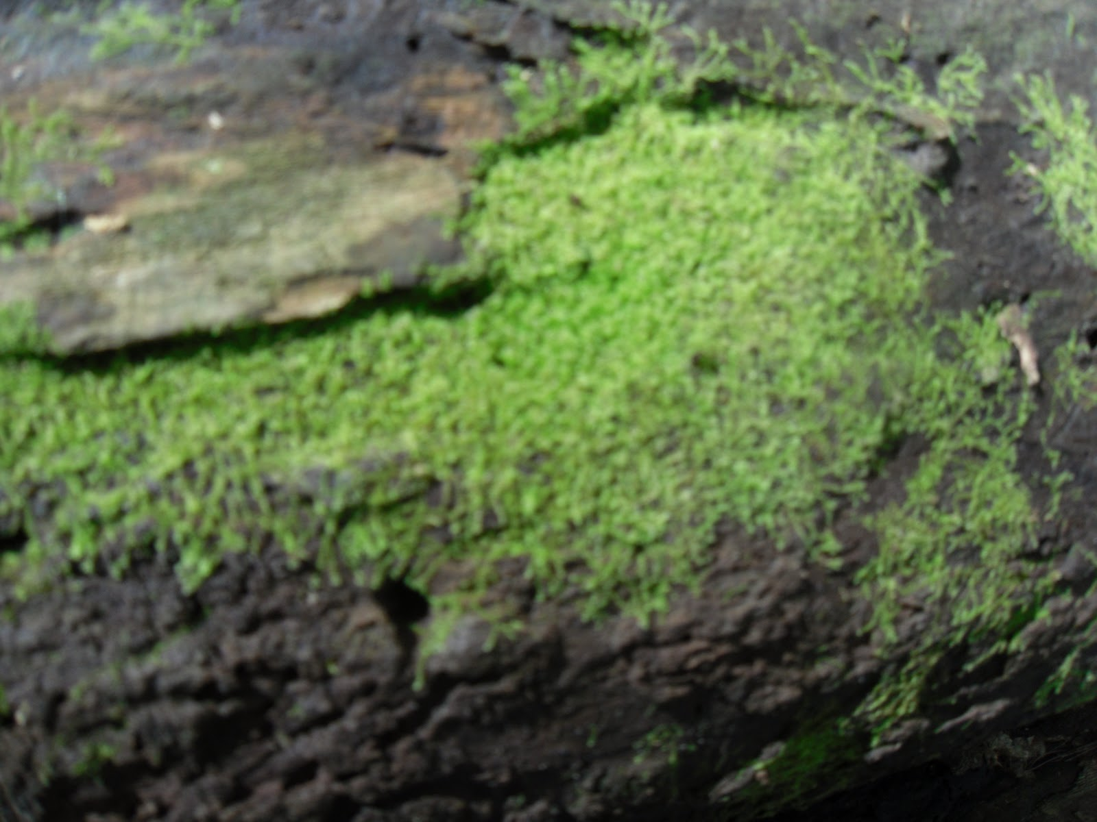 Kelcie S Non Vascular Plant Blog Specimen 3 Leafy Liverwort