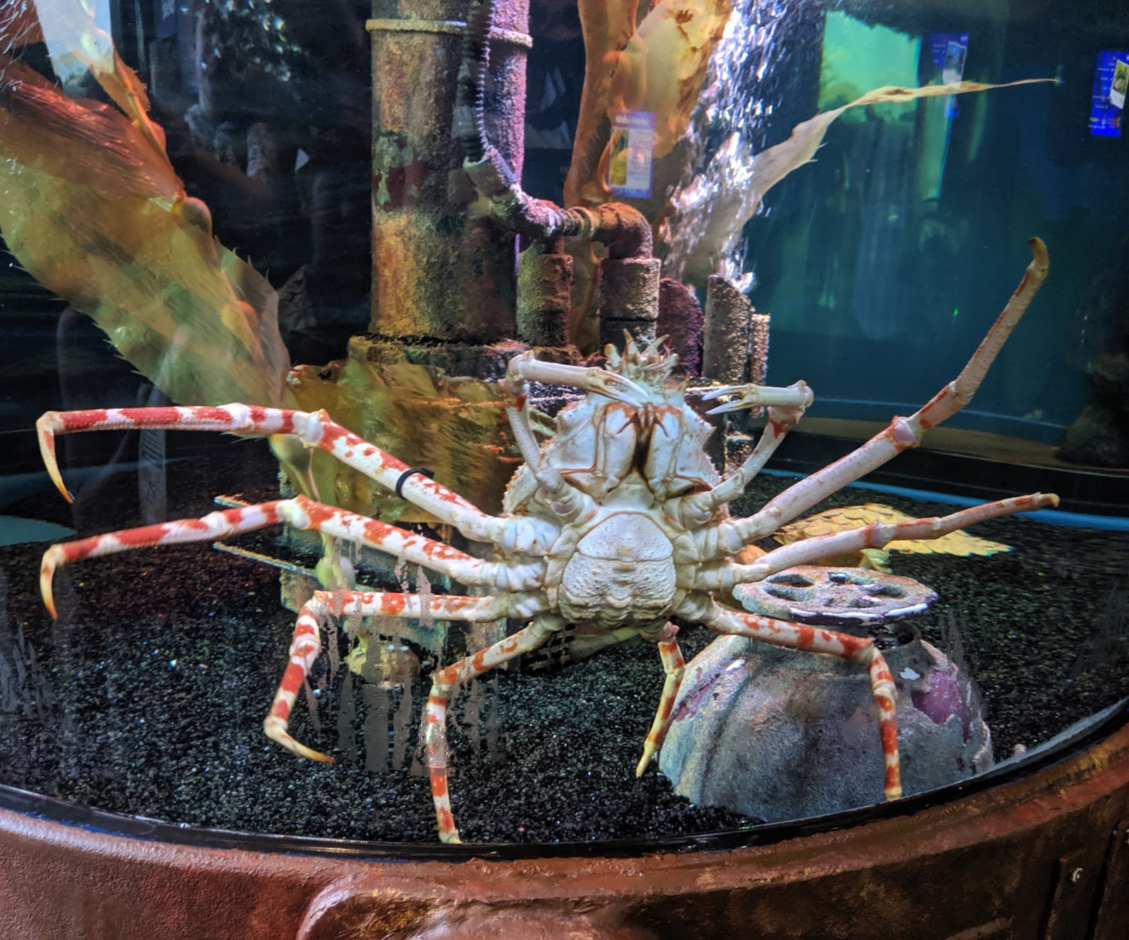 A Short Break at Cameron Lodges, Loch Lomond - Loch Lomond Shores - giant crab at SEALIFE Loch Lomond