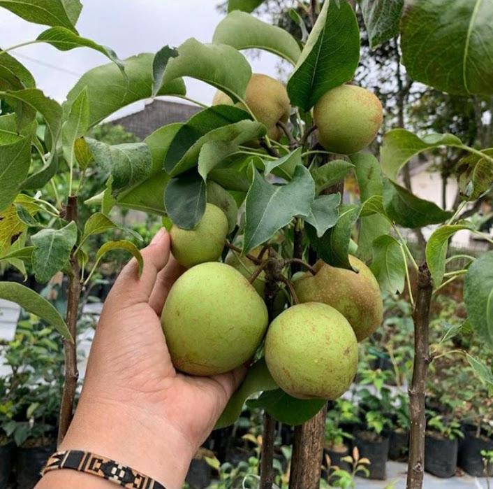 bibit buah pear Tegal
