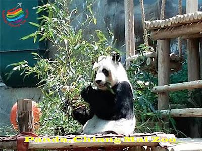 Panda, Chiang Mai Zoo, Thailand