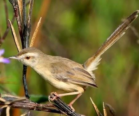 ini merupakan species burung dari kelompok Prinia  Suara Burung Ciblek Pari atau Ciblek Sawah