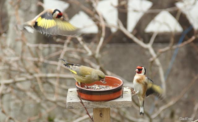 Deux chardonnerets attaquent un verdier mangeant des graines de tournesol