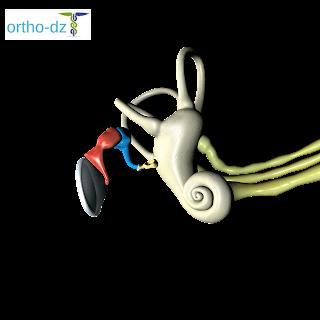 مكونات الجهاز السمعي عند الانسان, تشريح الأذن