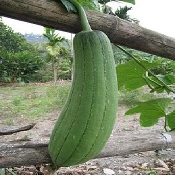 पडवळ, padwal vegetables name in Marathi
