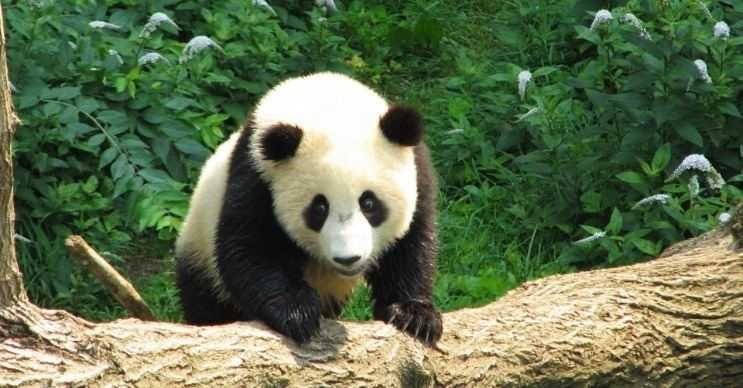 Pandalar desenleri sayesinde hayatta kalır, bu desenler birbirlerini tanımalarını sağlar.