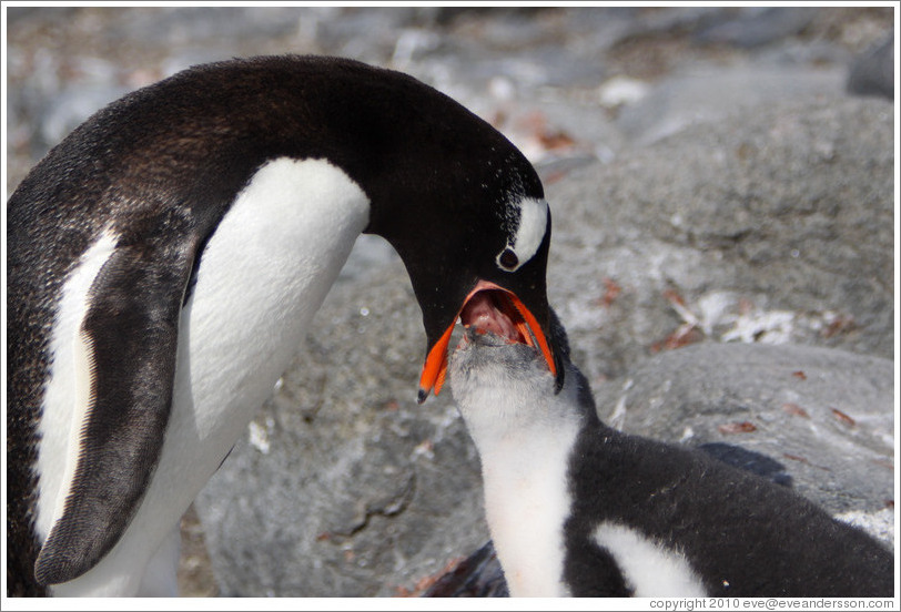 كون المعرفة: بطريق جنتو Gentoo Penguin