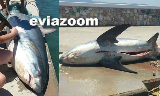 Ερέτρια: Απίστευτη ψαριά! Έπιασαν λευκό καρχαρία 200 κιλών, μήκους 4 μέτρων! (ΦΩΤΟ)