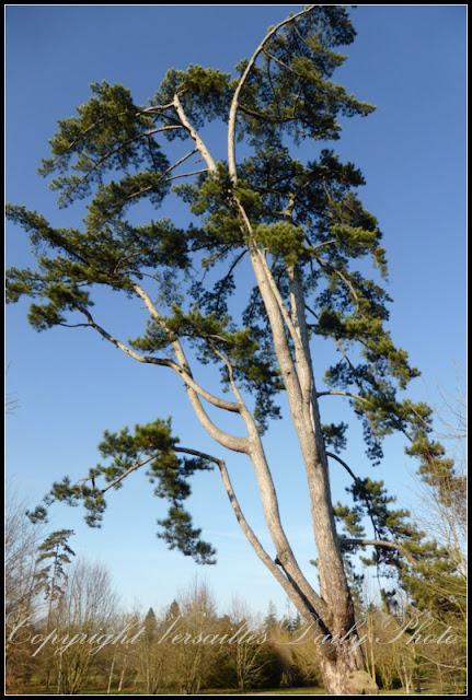Pin blanc d'Amerique Petit Trianon Versailles white pine