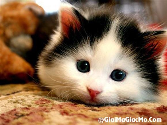 Giải mã giấc mơ thấy Mèo & ngủ nằm mơ thấy con Mèo