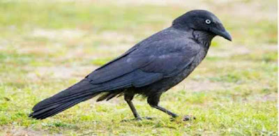 معلومات حول طائر الاوز