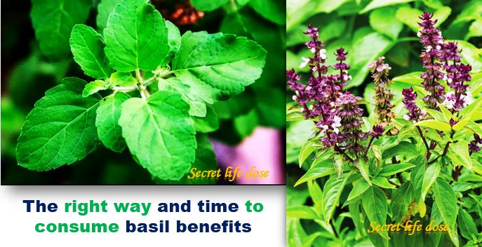 The right way and time to consume basil benefits, secret life dose