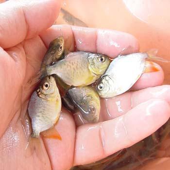 Ahli Supplier Jual Ikan Bawal Bibit & Konsumsi Denpasar, Bali Terfavorit