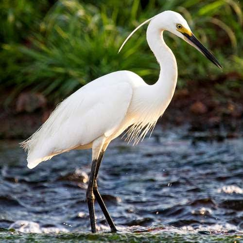 Indian birds - Image of Little egret - Egretta garzetta