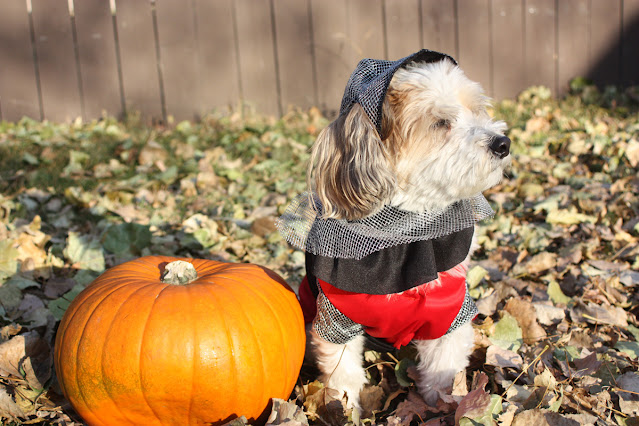 The Writer's Pet: Maureen Fergus interviewed about her dog Buddy, pictured here as Sir Barksalot and posing next to a pumpkin, and her picture book Glory on Ice: A Vampire Hockey Story