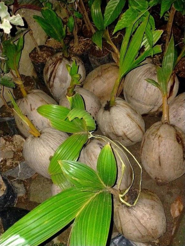 bibit kelapa Tarakan