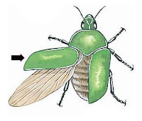 Bir böcekteki kınkanatı gösteren bir çizim